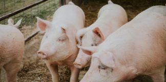 Un élévage de porcs.